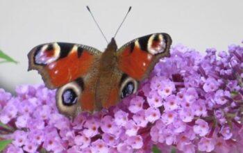 motyle-w-ogrodzie-zogrodemnaty1